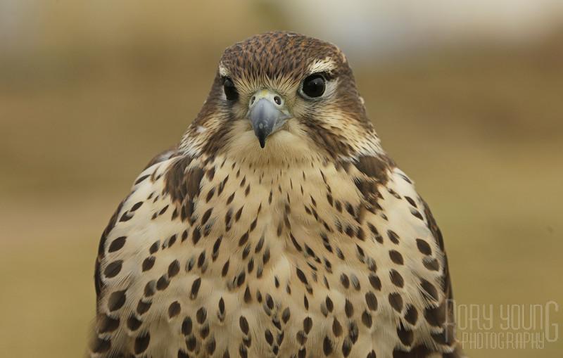 Hawk-A.jpg