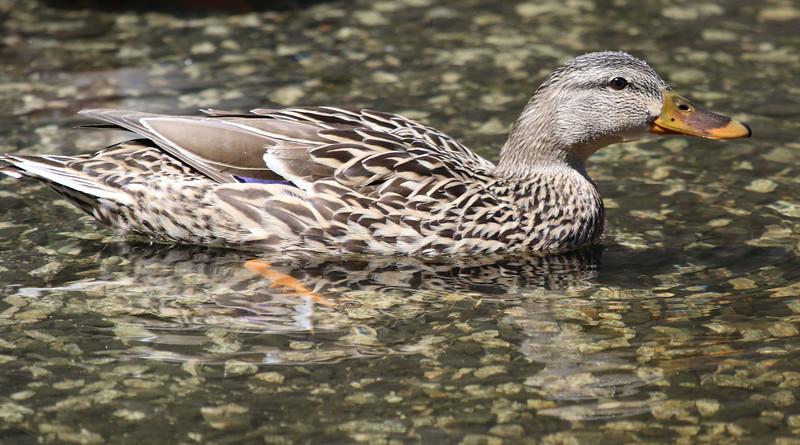 female mallard duck maine_edited-1.jpg