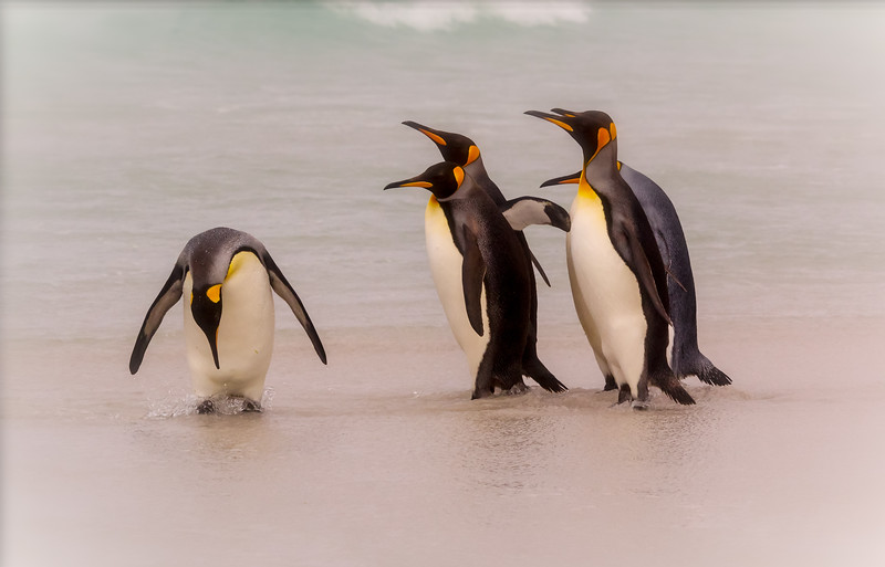 King penguins, Falkland Islands