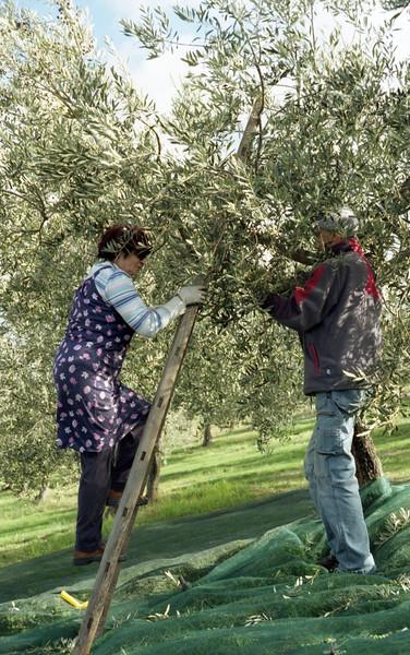 2016/10/20 Trevi, Coste, la raccolta delle olive - ANALOGICO