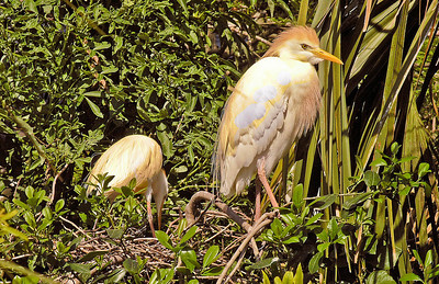 Cattle Egrets Tending Nest - Florida