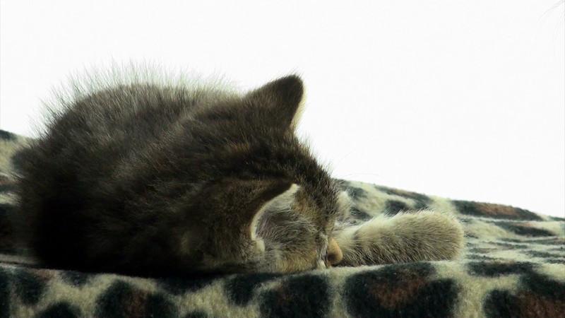 Kittens_tabby_017.mov