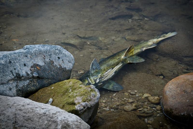 Dead fish in the stream.