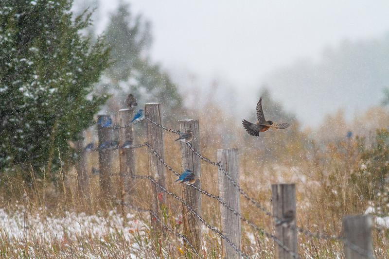 Mountain Bluebird flock on barbed wire fence in snow Theodore Roosevelt National Park Medora ND -1801.jpg