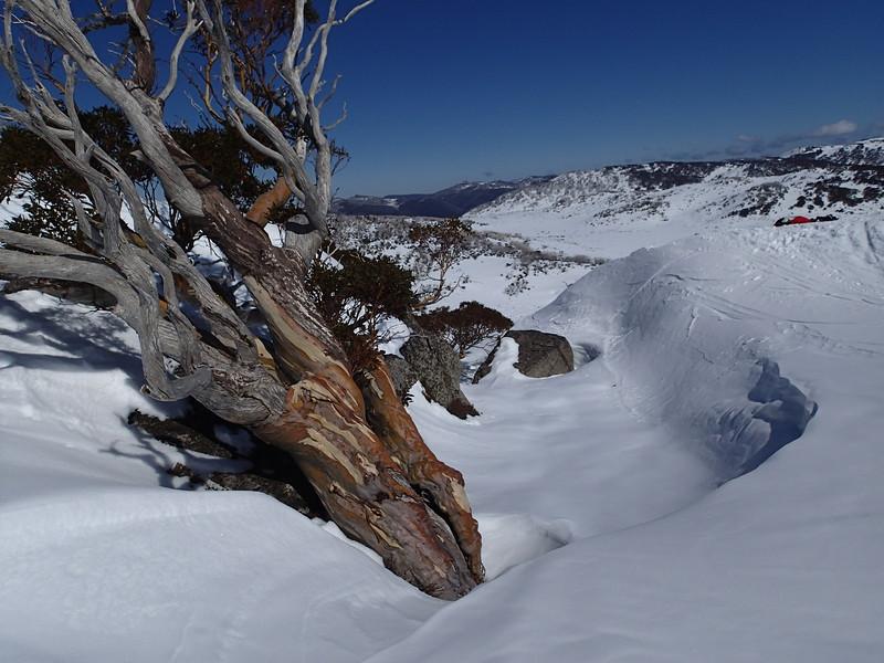 Snow gum at Mt Perisher