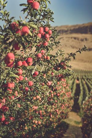 Wenatchee Valley Apples