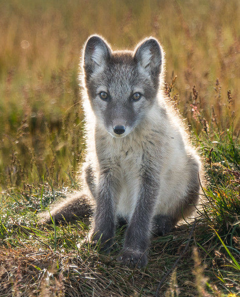 Fennoscandian arctic fox cub enjoying the evening sun in the Helags area. Endangered with only a few hundred left. Goosebumps encounter!