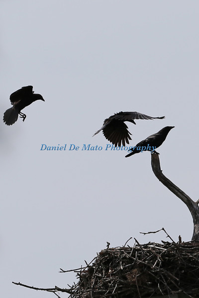 Crows at the Osprey Nest 8-21-12