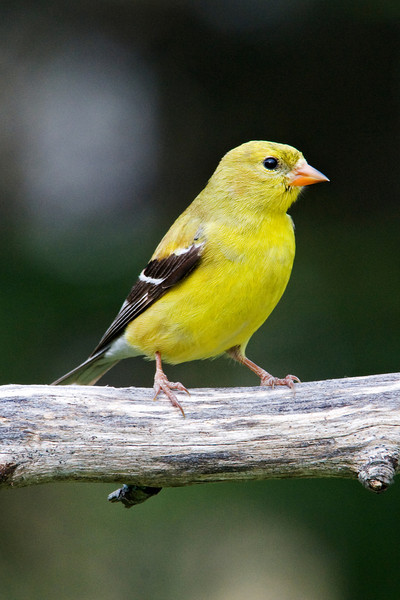 Goldfinch - American - female - Dunning Lake, MN - 02