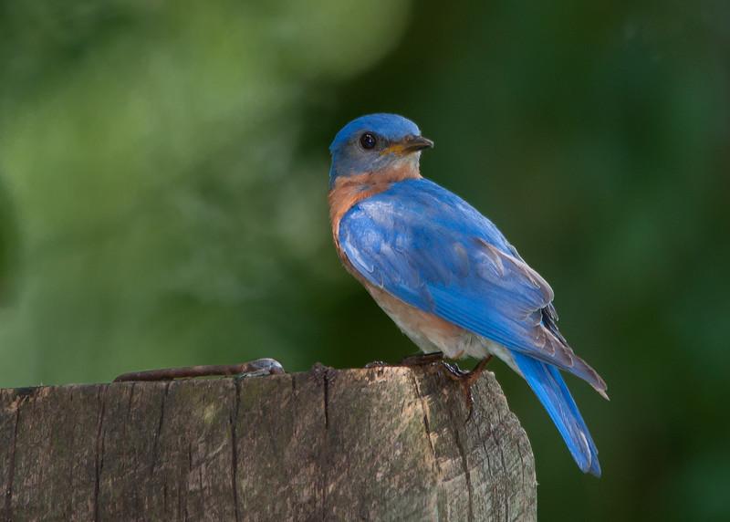 bluebird backward.jpg