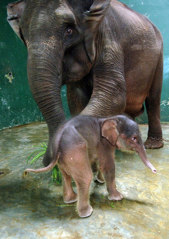 . A nine-day-old baby elephant sticks with his eighteen-year-old mother Tini at the Safari Park in Gianyar, on the Indonesian resort island of Bali.  The male Sumatran elephant baby, the 31st at the park, was the first baby elephant born on Bali island.   (SONNY TUMBELAKA/AFP/Getty Images)