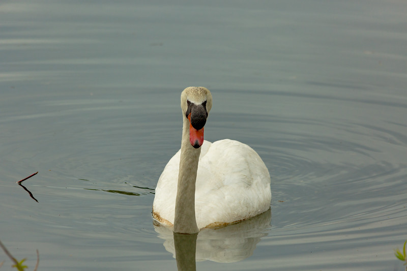 mute swan_-45.JPG