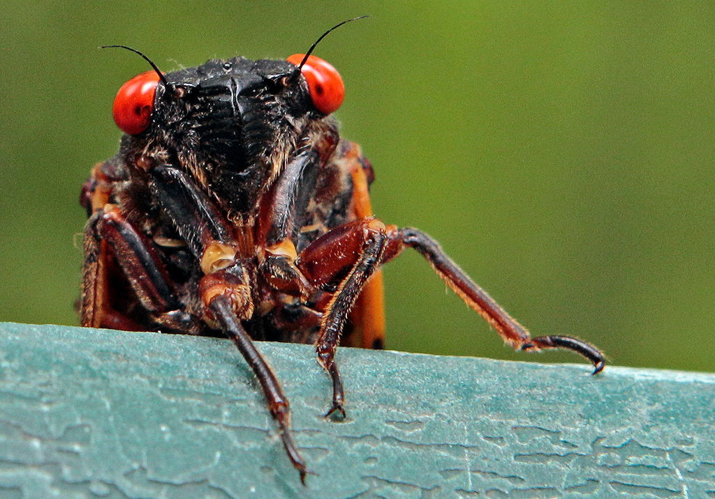 . A 13-year cicada peers over a ledge in Chapel Hill, N.C., Wednesday, May 11, 2011. Portions of the southern states are currently experiencing the emergence of the periodic cicadas, which tunnel their way to the surface to shed their skin and mate after 13 years underground. (AP Photo/Gerry Broome)