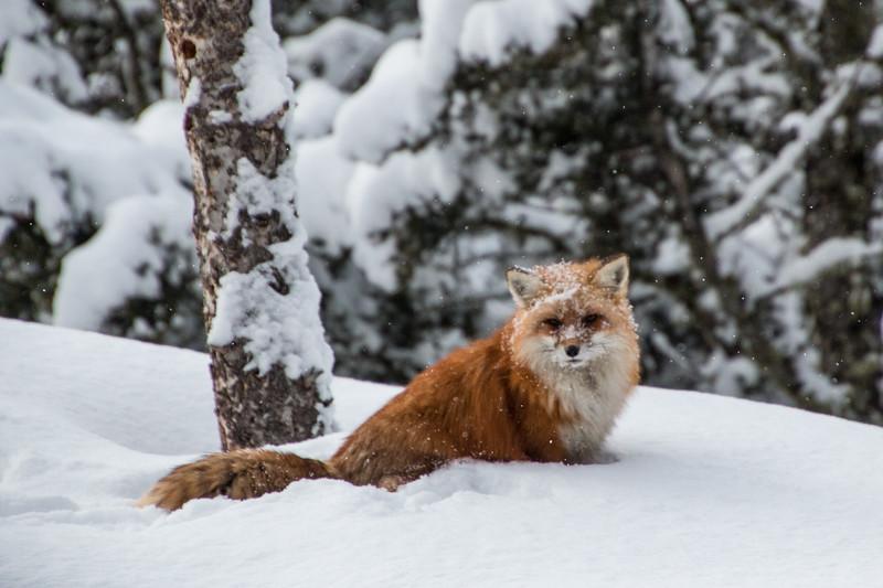 3877-Red Fox-©Yvonne Carter.jpg