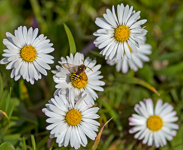 """Bellis perennis, known as """"Common Daisy"""""""
