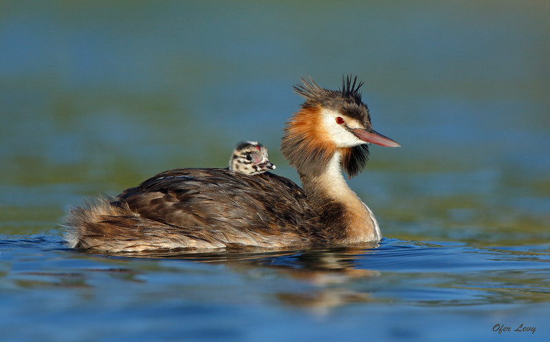 Great-crested Grebe 22.jpg