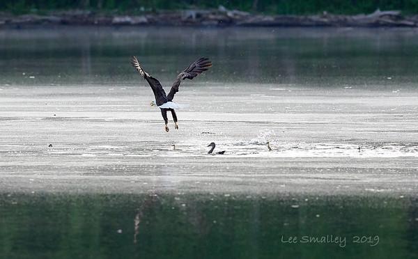 Ducklings Eagle Encounter