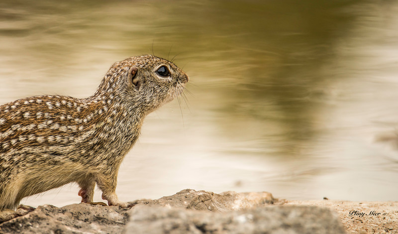 Mexican Squirrel_DWL0454.jpg