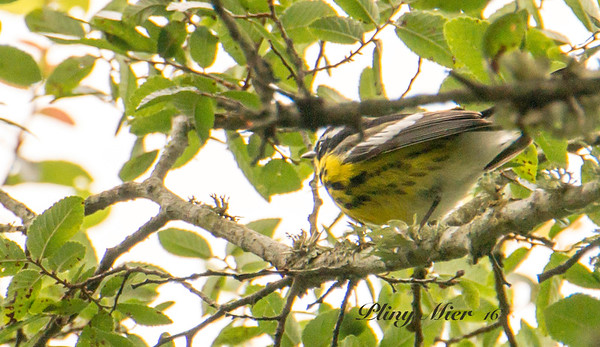 Magnolia Warbler_DWL1315.jpg