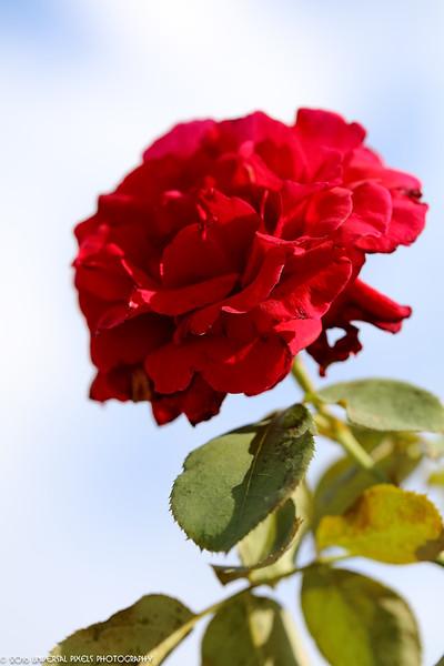 Macro-Rose V1-51.jpg