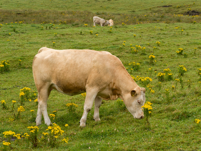 Cattle grazing on landscape, Cliffs of Moher, Lahinch, County Clare, Ireland