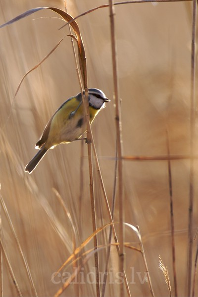 Backlit Blue Tit on a reed