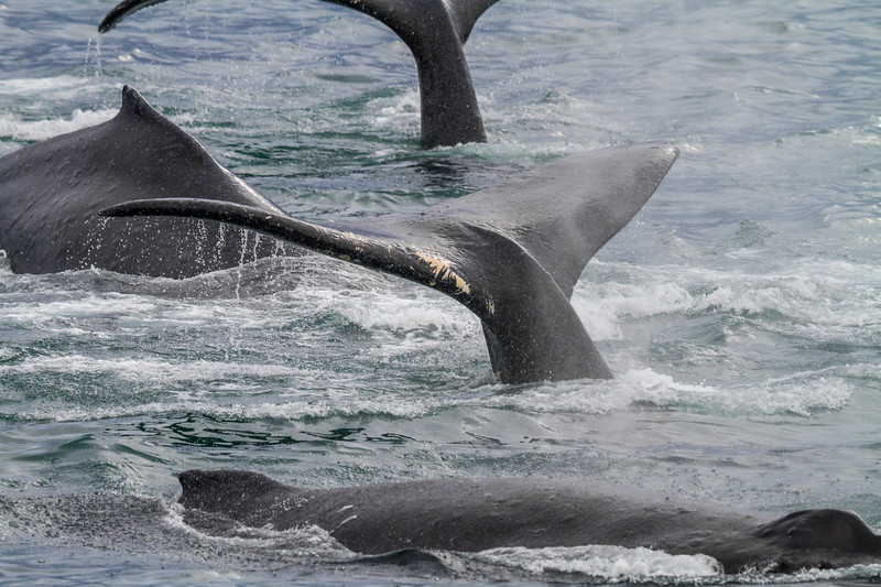 A group of humpback whale tales and fins, Alaska
