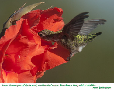 Anna's Hummingbird F93489.jpg