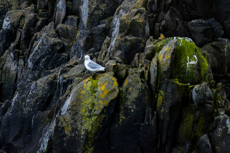 Black-legged Kittiwake - Westman Islands, Iceland