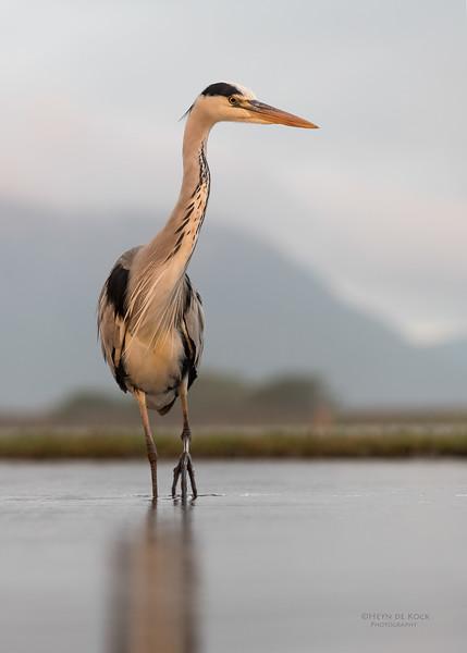 Grey Heron, Zimanga, South Africa, May 2017-13.jpg