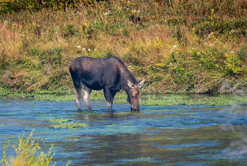 Moose Grazing Teton and Yellowsypne-7007.jpg