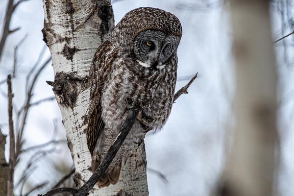4-2-20 Great Gray Owl Priddis