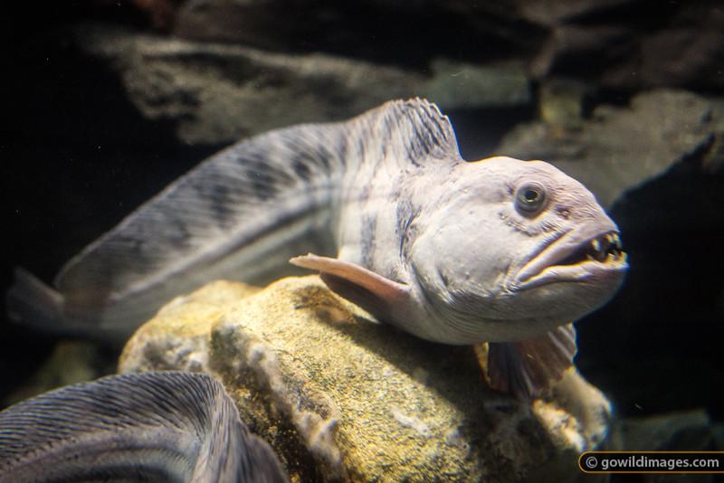 Atlantic Catfish, Sæheimar aquarium, Heimæy, Vestmannæyjar