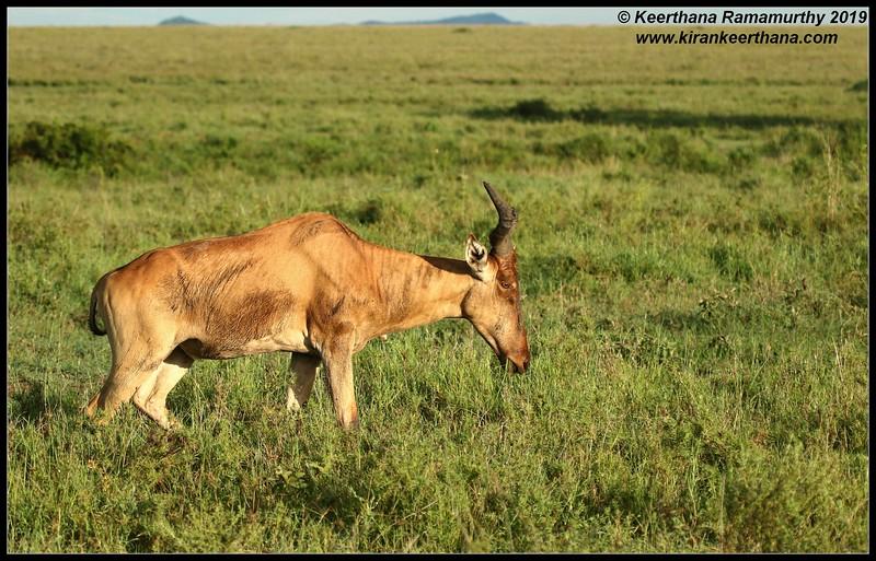 Hartebeest or Kongoni, Serengeti National Park, Tanzania, November 2019