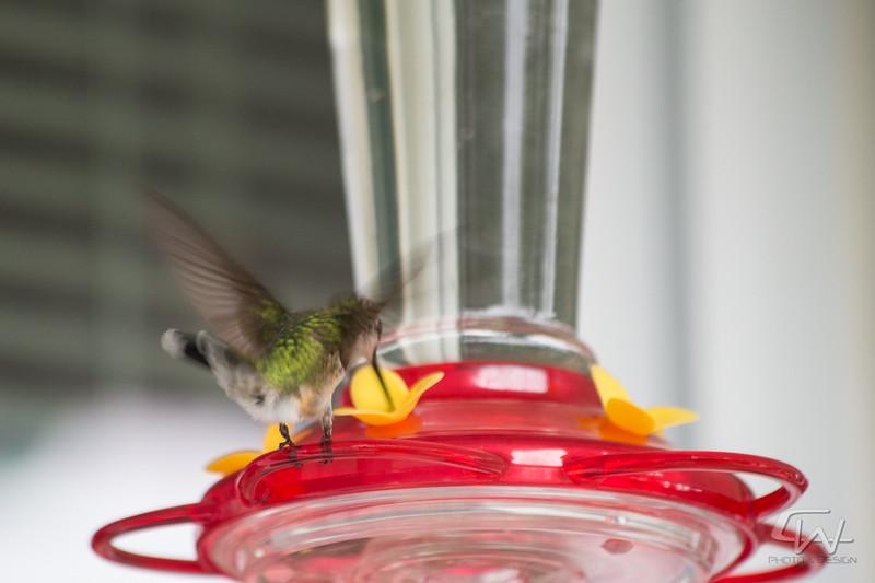 Hummingbird-1886.jpg