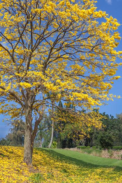 Jacaranda Tree #2