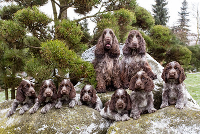 Dogs & Pets, purebred cocker spaniels & other breeds