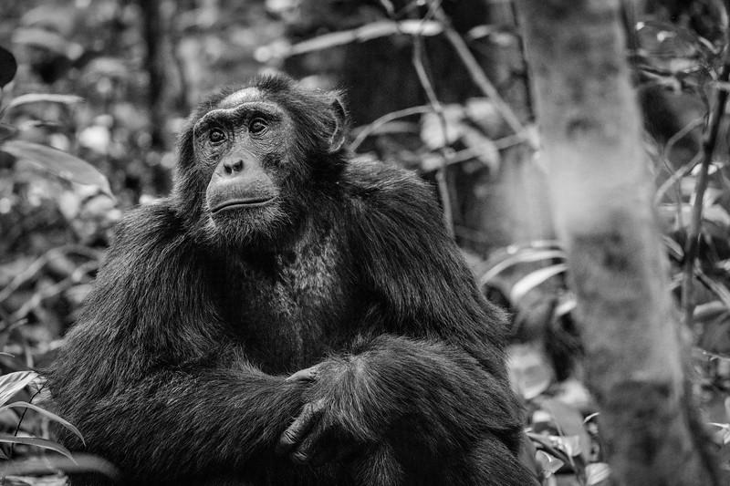 Uganda_T_Chimps-826.jpg