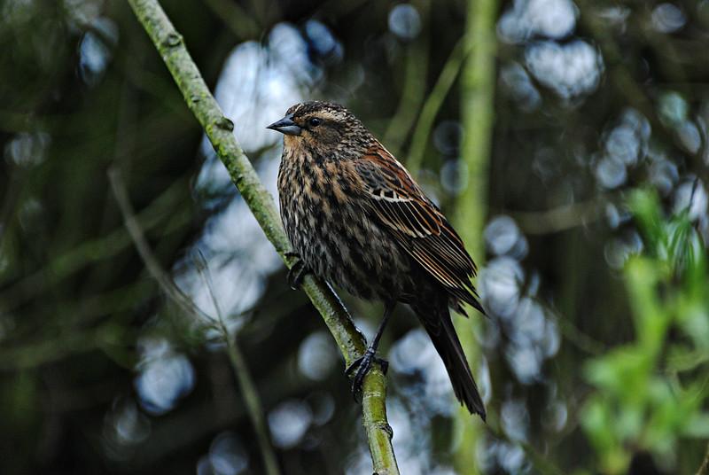 Red-Winged Blackbird  Seattle, WA
