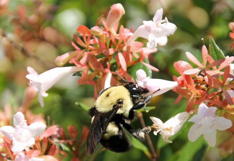 Bumble bee 51