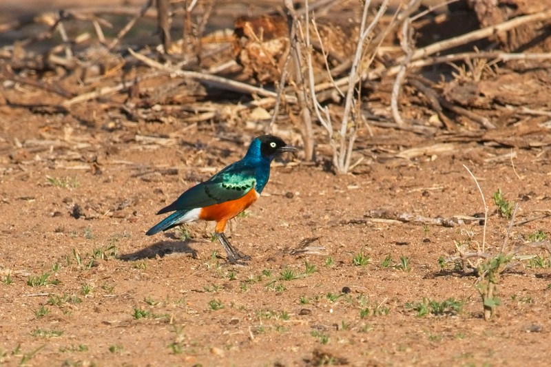 Superb Starling, Namunyak Conservancy