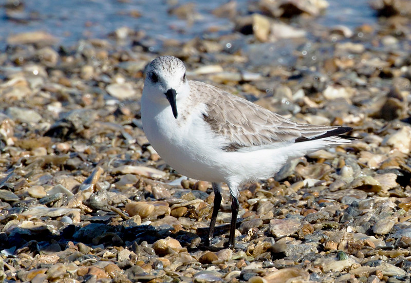 A Sanderling by the water's edge
