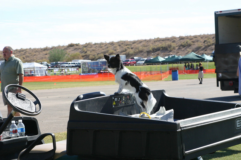 A Papillon prepares to take over the cart.