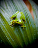 Tropical tree frog resting on a green leaf. Photography fine art photo prints print photos photograph photographs image images artwork.