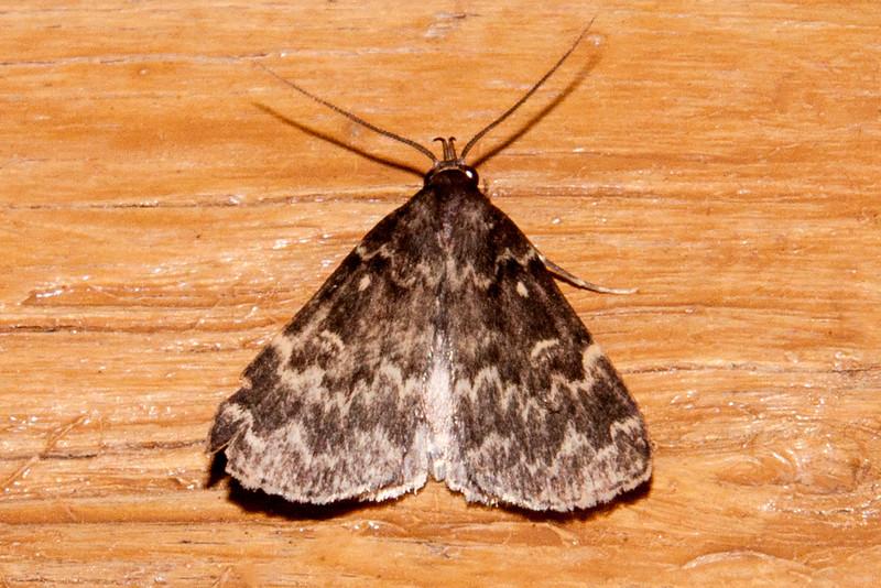 Idia - Glossy Black - (Idia lubricalis) - Dunning Lake - Itasca County, MN