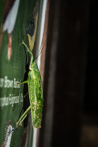 INSECT -  leafhopper on sign-1434