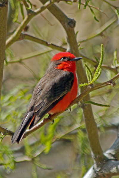 Vermillion Flycatcher ~ This male Vermillion was photographed at Big Morongo Canyon Preserve in the desert of Southern California.