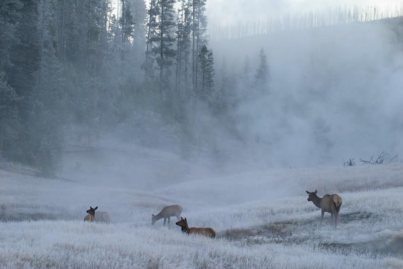 Elk in Frosty Field Yellowstone N.P. WY 768_6844.jpg