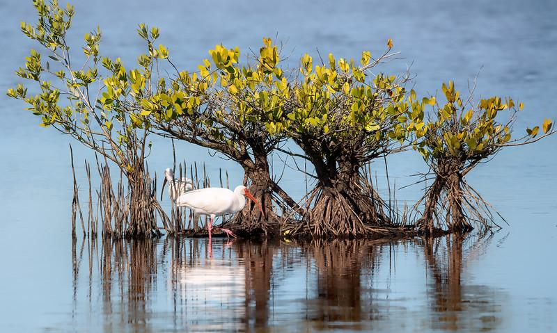 White Ibis in the Mangrove bushes