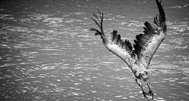 B&W Flying Vulture